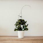 Druif planten pergola